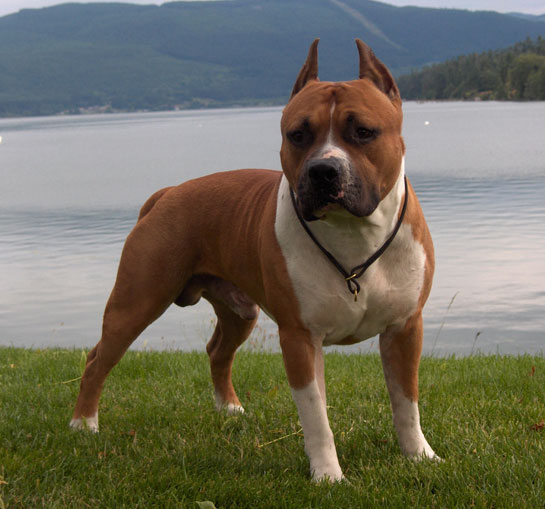 Amerikan Staffordshire Terrier
